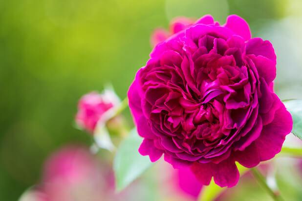 春薔薇のある風景、バラ園のイメージ集